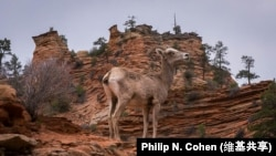A bighorn desert sheep at Zion National Park