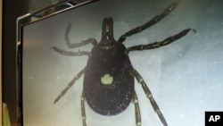 FILE - A lone star tick is displayed on a monitor in a lab at the North Carolina Museum of Natural Sciences, in Raleigh, North Carolina, July 31, 2014.