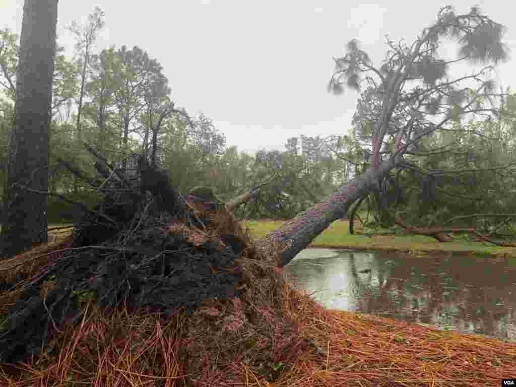 Los fuertes vientos del huracán Florence derriban árboles en Carolina del Norte.