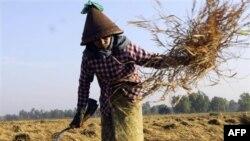 Giới hữu trách Miến Ðiện đã áp dụng lệnh ngưng xuất khẩu gạo hồi tuần trước