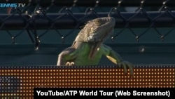 An iguana disrupted a tennis match at the Miami Open, in Florida.