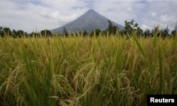 FILE - Rice stalks ready for harvesting are pictured in a field near the Mayon volcano in Daraga, Albay, in central Philippines, April 3, 2016.