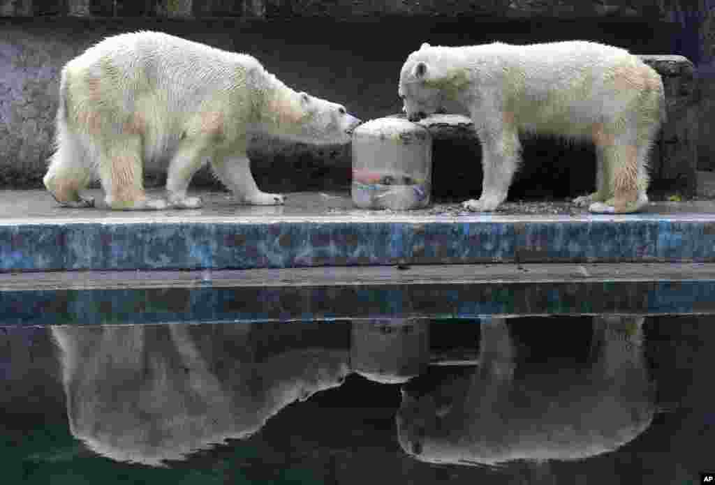 Two polar bears sniffle an icy doughnut made of fish, vegetables and fruits they received on the occasion of the Carnival of Animals in the Budapest Zoo in Budapest, Hungary.