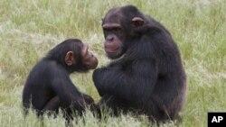 Chimpanzees at the Chimp Eden rehabilitation center, near Nelspruit, South Africa, Feb. 1, 2011.