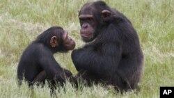 Dua ekor simpanse di Pusat Rehabilitasi Simpanse Eden, Nelspruit, Afrika Selatan (foto: dok).