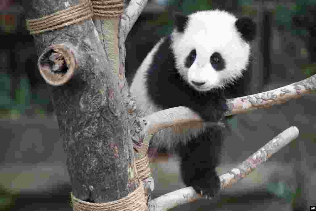 ខ្លាឃ្មុំផេនដាញីអាយុ៧ខែ Nuan Nuan លេងក្នុងសួនផេនដានៅក្នុងសួនសត្វជាតិក្នុងទីក្រុងកូឡាឡាំពួ ប្រទេសម៉ាលេស៊ី។ ផេនដាមួយនេះគឺជាកូនរបស់ផេនដាធំៗពីរឈ្មោះ Xing Xing និង Liang Liang ដែលម៉ាលេស៊ីខ្ចីមកចិញ្ចឹមពីចិនតាំងពីឆ្នាំ២០១៤។