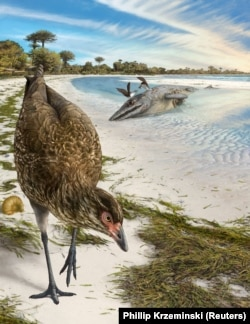 Artist's reconstruction of the world's oldest-known anatomically modern bird, Asteriornis maastrichtensis, in this handout photo released to Reuters on March 17, 2020.