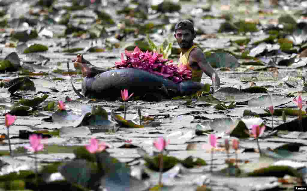 A man collects lotus flowers to sell whilst floating on a tire tube at a pond in Colombo, Sri Lanka.