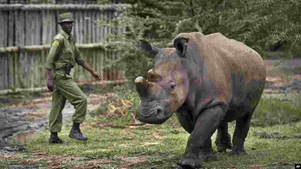 Sur cette photo prise le mardi 2 décembre 2014, le gardien Mohamed Doyo marche avec Fatu, une femelle rhinocéros blanc du nord sortie de sa cage, à l'Ol Pejeta Conservancy au Kenya.