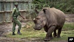 Solo queda un rinoceronte blanco macho en el mundo.