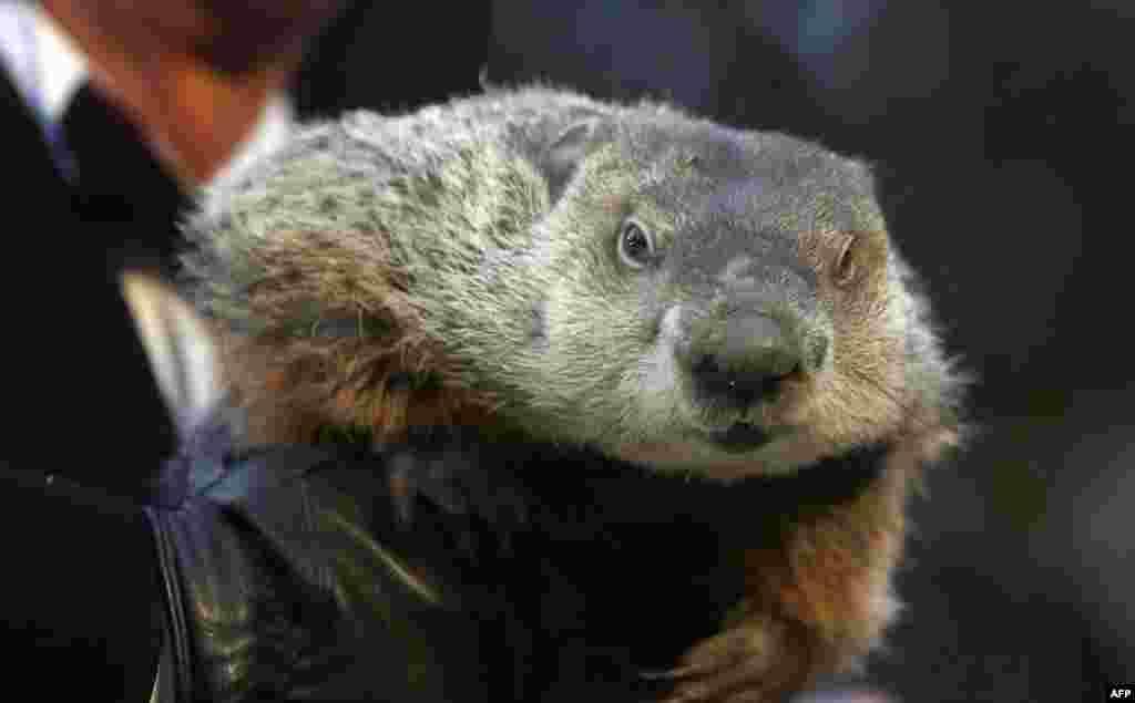 La marmota Punxsutawney Phil, que se ocupa de predecir el cambio de estaciones, anunció una primavera temprana en la ceremonia del Dia de la Marmota, en Punxsutawney, Pensilvania.