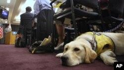 A service dog.