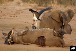 Elephants dying in large numbers in Zimbabwe