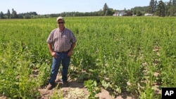 FILE - Grower Robert Purdy stands in his field of genetically engineered sugar beets near Salem, Ore., June 6, 2014. Researchers have found no evidence that genetically modified crops are unsafe to eat.