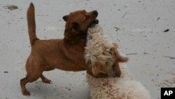 เซี่ยงไฮ้เริ่มบังคับใช้กฎหนึ่งครอบครัวหนึ่งสุนัขอย่างเข้มงวดกวดขันมากขึ้น สืบเนื่องมาจากปัญหาสุนัขจรจัดและโรคกลัวน้ำที่มีมากขึ้น