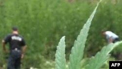 Policia e Shkodrës intensifikon luftën kundër kultivimit të drogës