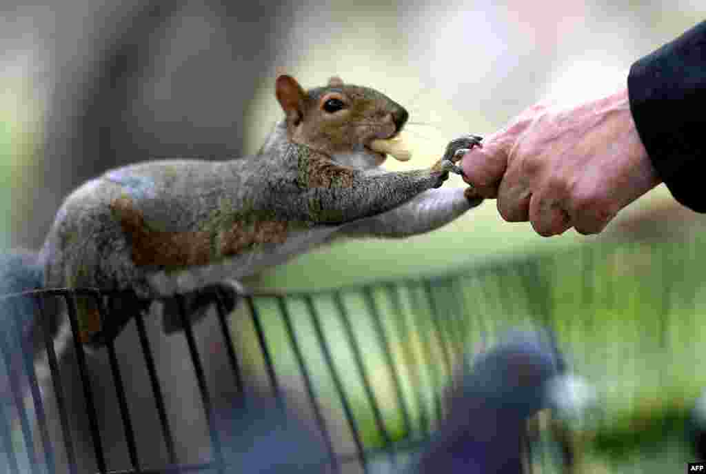 A person feeds peanuts to a grey squirrel in Washington Square Park in New York City, Oct. 7, 2020.