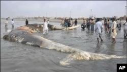 کراچی کے ساحل پر دیو ہیکل مردہ وہیل مچھلی