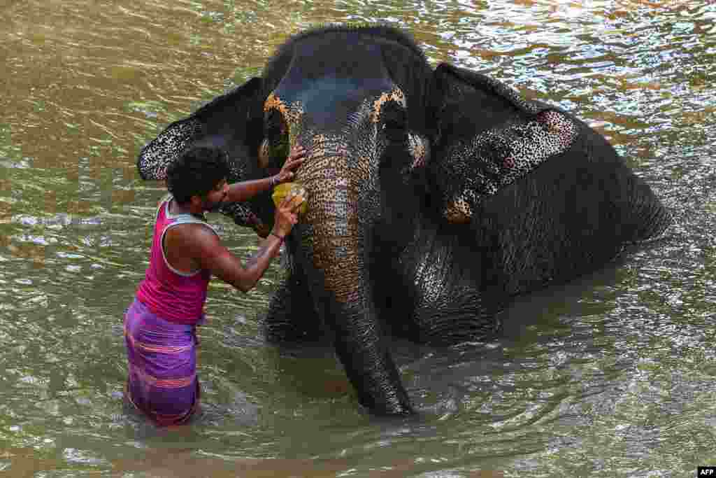 A mahout washes an elephant in the river in Pinnawala, some 95 kms from the capital Colombo, Sri Lanka.