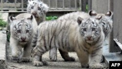 FILE - Two-month-old white tiger cubs play on the ground at the Tobu Zoo in Miyashiro, in Saitama prefecture, north of Tokyo, April 19, 2015. Two wildlife groups said the tiger population worldwide has grown, the first time in a century.