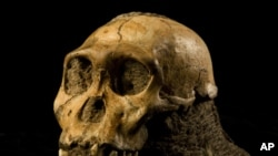 The cranium of the juvenile Australopithecus sediba found in Malapa, South Africa in 2008.
