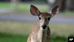 عکس تزئینی، بچه گوزن دم سفید - گوزن دم سفید از حیوانات بومی قاره آمریکا است