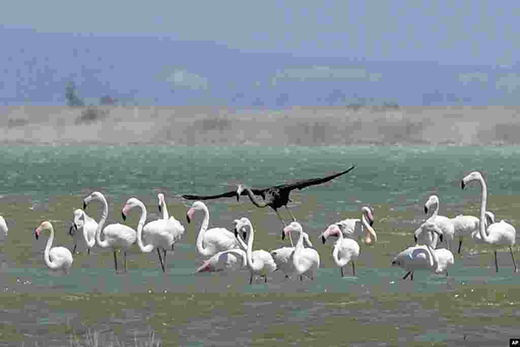 A rare black flamingo fles among white flamingos at a salt lake at the Akrotiri area near costal city of Limassol, Cyprus.