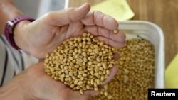 美國北達科他州的一名大豆種植農民正檢查其生產的大豆質量。 (2019年8月6日)