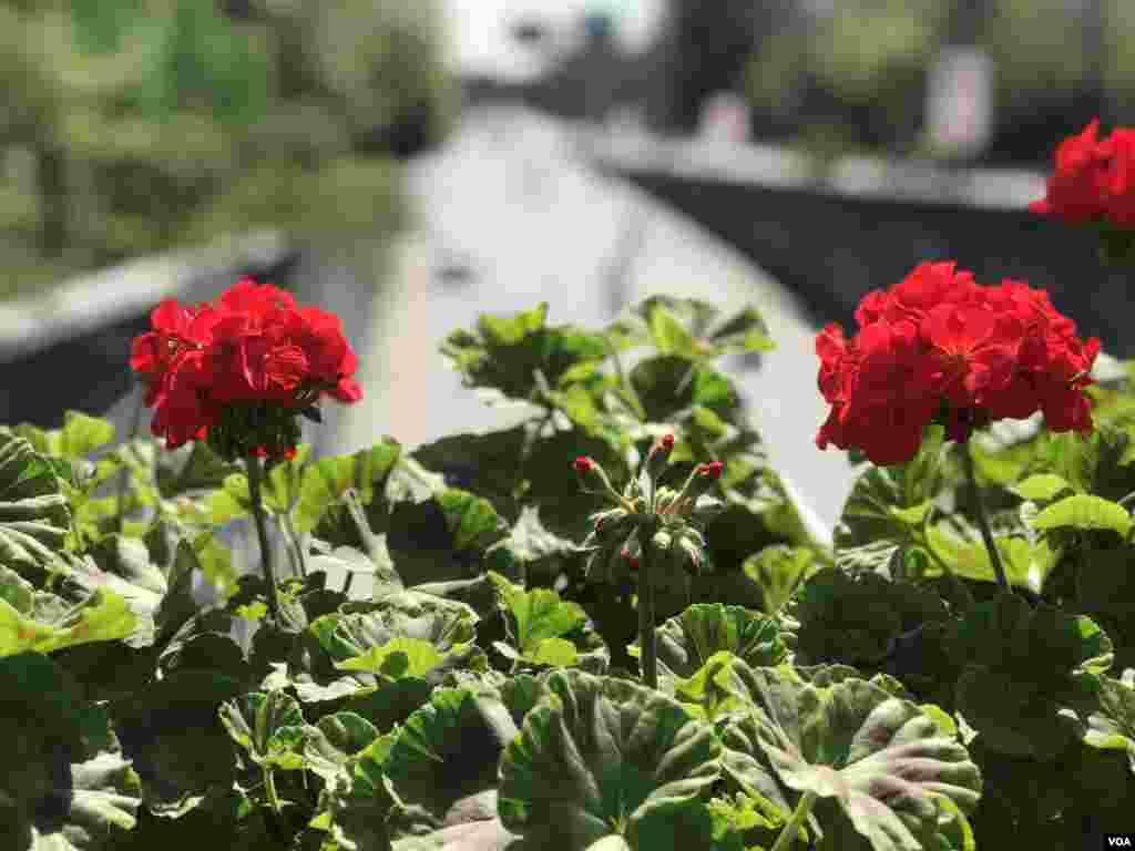 لاہور کے مال روڈ پر لگائے گئے گملوں میں بہار کے رنگ عروج پر ہیں۔