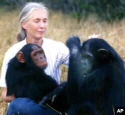 "World renowned primate expert Jane Goodall believes using chimpanzees in medical research is ""morally wrong and unacceptable""."