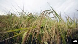 Tư liệu - Lúa trồng trên một cánh đồng gần Alicia, bang Arkansas