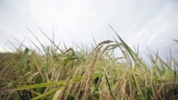 Quiz - Scientists Say Genetically Modified Rice Can Prevent HIV