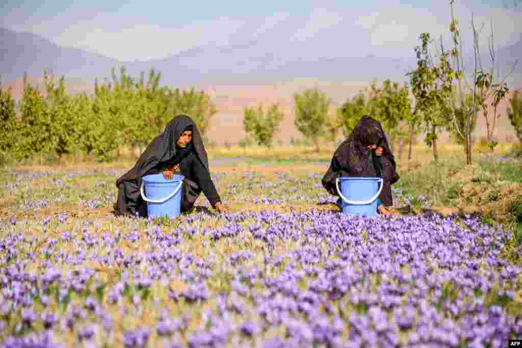Workers harvest saffron flowers in a field in Herat province, Afghanistan.