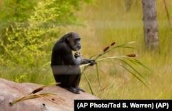 Şimpanze