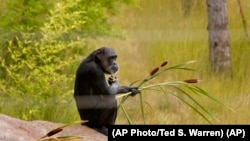A chimp holds some plants as she sits in an outside play area. (AP Photo/Ted S. Warren)