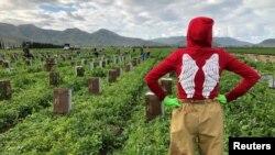 کیلی فورنیا کے ایک زرعی فارم میں کام کرنے والا الفارو فصل کو دیکھ رہا ہے۔ امریکہ کی زرعی اجناس کا سب سے بڑا خریدار چین ہے۔ 19 مارچ 2020
