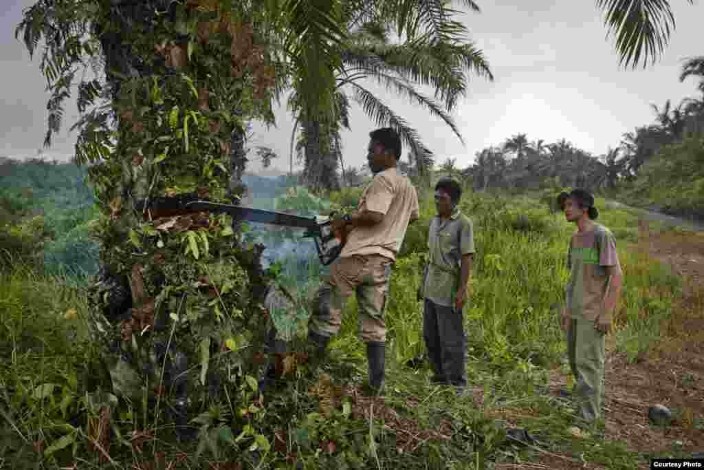 Rudi Putra mengawasi tim perbaikan hutan menebang pohon kelapa sawit di Ekosistem Leuser di Indonesia. (Goldman Environmental Prize)