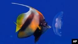 Seekor ikan makan bangkai ubur-ubur di laut (foto: dok). Menurut studi, otot-otot kepala dan badan membantu ikan menelan makanan mereka dalam satu gerakan yang kuat.