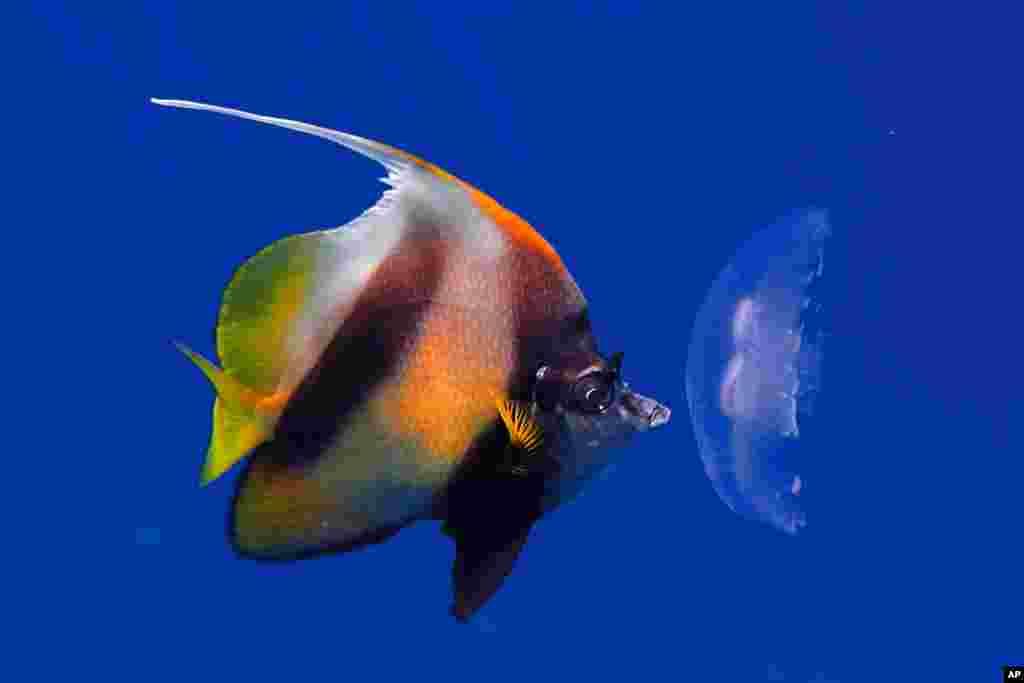Một con cá ăn một con sứa chết gần mặt nước của Biển Đỏ ở thành phố du lịch Sharm el-Sheikh, phía nam bán đảo Sinai, Ai Cập, ngày 28 tháng 6, 2015.
