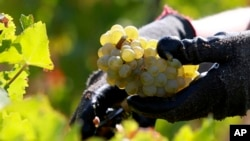 FILE - Scientists were surprised to find the grapevines they studied harbored Propionibacterium acnes, a bacterium usually found on human skin and best known for causing acne.