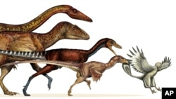 This undated artist rendering provided by the journal Science shows the dinosaur lineage which evolved into birds shrank in body size continuously for 50 million years.