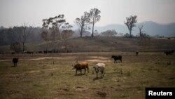Hewan-hewan ternak di lahan di Wandella, dekat Kota Cobargo, Australia, 13 Januari 2020. (Foto: Reuters)