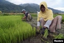 Para petani menyiapkan benih padi untuk ditanam di sebuah desa di Kabupaten Sigi, Sulawesi Tengah, 26 Januari 2016. (Foto: Antara via Reuters)