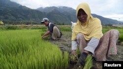 Le Gabon mise sur la riziculture pour atteindre l'autosuffisance alimentaire
