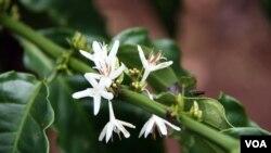 Cvjetanje kave na farmi u Buon Ma Thuotu (D. Schearf/VOA)