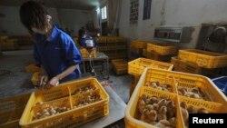Những người công nhân đang tiêm phòng vaccine cúm gia cầm cho những chú gà con tại một trang trại của Trung Quốc.