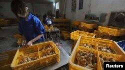 Pekerja memvaksinasi anak ayam dengan vaksin flu burung H9 di sebuah peternakan di Changfeng, provinsi Anhui. (Foto: Dok)