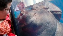 Quiz - Baby Hippo Has Become an Educational Force