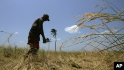 FILE - A Sri Lankan farmer inspects his dried rice field at Somapura, in eastern Trincomalee district.