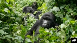 FILE - Mountain gorillas roam in Virunga National Park, near the Uganda border in eastern Congo.